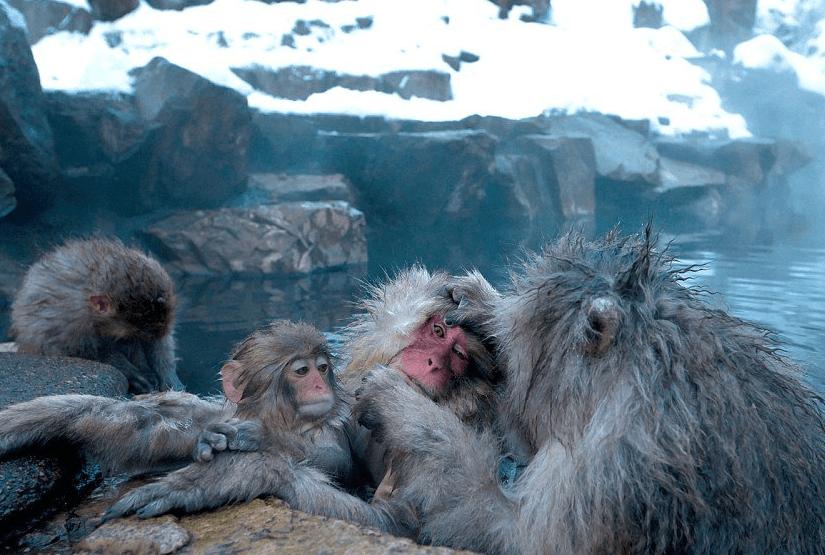 Горячие источники в Японии где купаются обезьяны