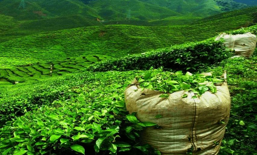 Шри-Ланка - чайные плантации