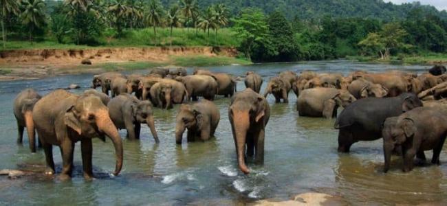 Слоновий питомник в Пиннавеле