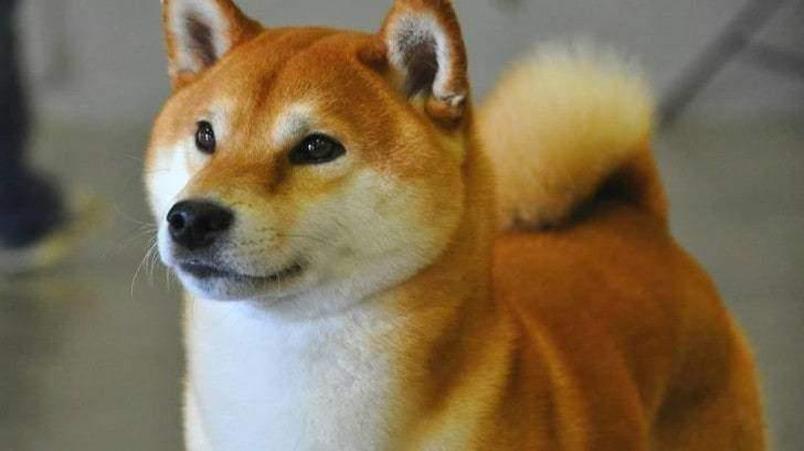 Япония и собака шиба-ину